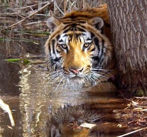 Big Cat Encounters | Bengal tiger | Liger | Pet A Tiger